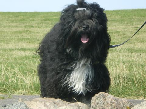 Tibet Terrier Rüde Marley Einfach mal den Wind um die Nase wehen lassen