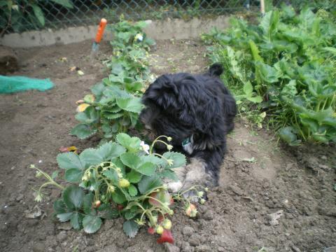 Tibet Terrier Marley-Immer dabei.Im Garten ist immer etwas los