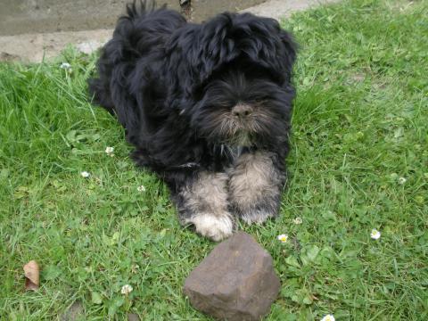 Tibet Terrier Marley als Gartenhelfer