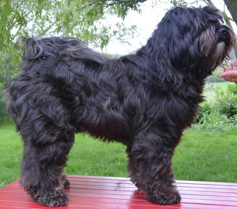 Nom-pa, unser Tibet Terrier in unserem Garten