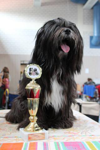 Mo Shu Oni Tibet Terrier (Bester tibetischer Junghund on Show Sommer 2014)