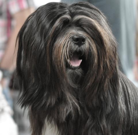 Mo Shu Oni Tibet Terrier (Kopfbild 1)