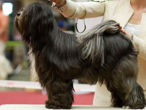 Mo Shu Oni Tibet Terrier (Herbstjugendsieger Dortmund 2014)