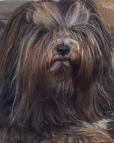 Mo Shu Oni Tibet Terrier (Kopfbild 2)