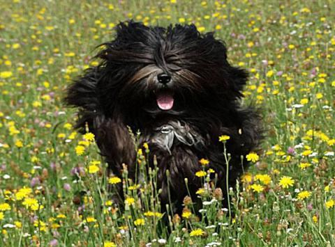 Mo Shu Oni Tibet Terrier (Fun auf der Wiese)
