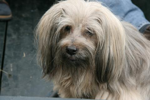 Tibet Terrier Hündin Shantirak Achandra 16 Jahre