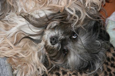 Tibet Terrier Shantirak Danji - kraul mich