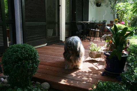 Tibet Terrier Shantirak Danji im Sommer