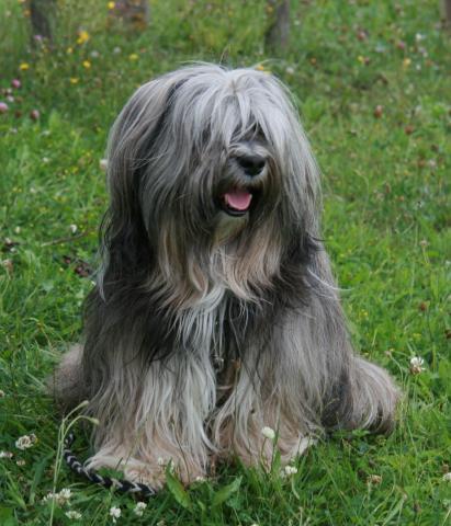 Tibet Terrier Shantirak Danji