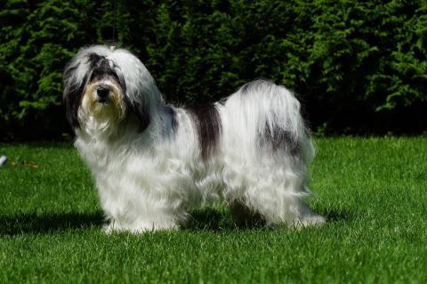 Tibet Terrier Shen-Mani Gigo-Lo