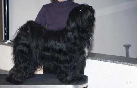 Tibet Terrier Hündin Jayati