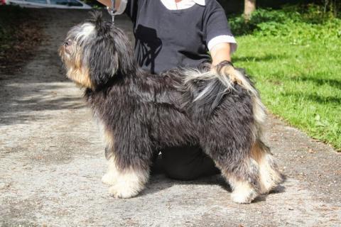 Tibet Terrier Vajrapasha