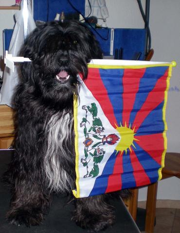 Tibet Terrier Rüde Smyonpa khangpa Chakravarti-raja-varjapani, hier der Beweis: ich bin ein Tibeter