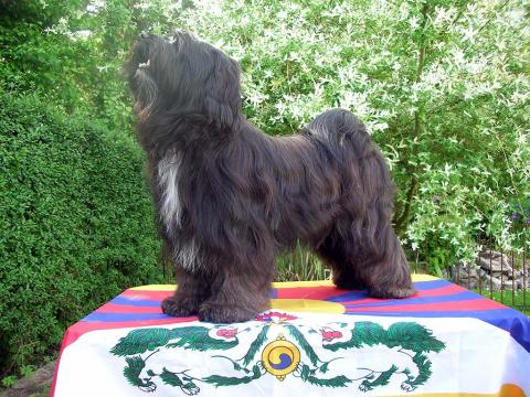 Tibet Terrier Rüde Smyonpa khangpa Chakravarti-raja-varjapani will hoch hinaus