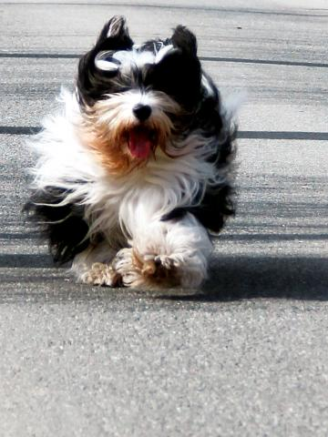 Peter Künzel_Tibet Terrier