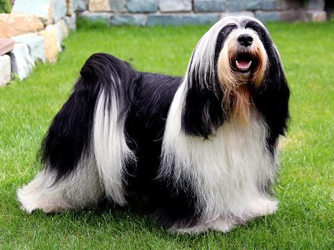 Tibet Terrier Rüde_Peter Künzel_Oelde