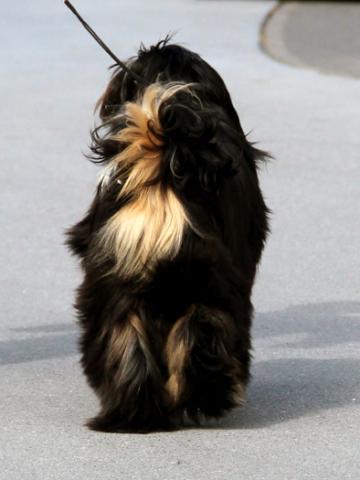 Tibet Terrier_Rüde_Künzel_04