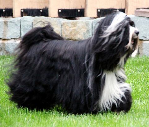 04_Tibet Terrier Rüde_Peter Künzel_Oelde