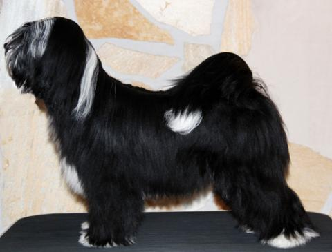 02_Tibet Terrier Rüde_Peter Künzel_Oelde