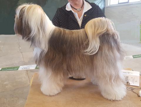 Tibet Terrier, Hündin SKI-LA-KYI Sashi