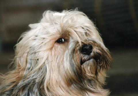 Kopfstudie von unserem Tibet Terrier Rüden