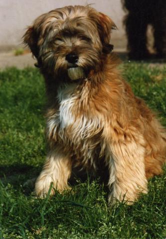 Tibet Terrier Jerry mit 12 Wochen