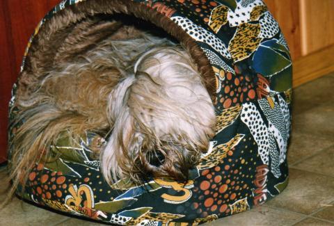 """Tibet Terrier """"Silgarhi Varius"""" genannt Jerry in seiner kuscheligen Höhle"""