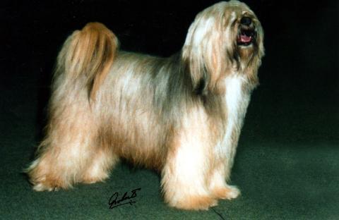 Jerry wurde in Dortmund mit 12 Jahren bester Tibet Terrier und bester Veteran aller Rassen