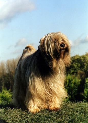 """Tibet Terrier Rüde, """"Silgarhi Varius"""" Jerry mit 12 Jahren im Garten"""