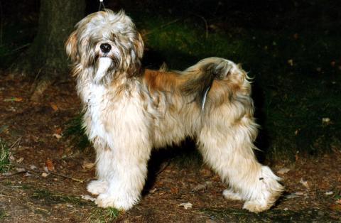 "Tibet Terrier Jüngling ""Silgarhi Varius"" Jerry mit 7 Monaten"