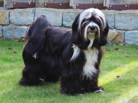 Bandhu Deckrüde_Tibet Terrier_weiß-schwarz