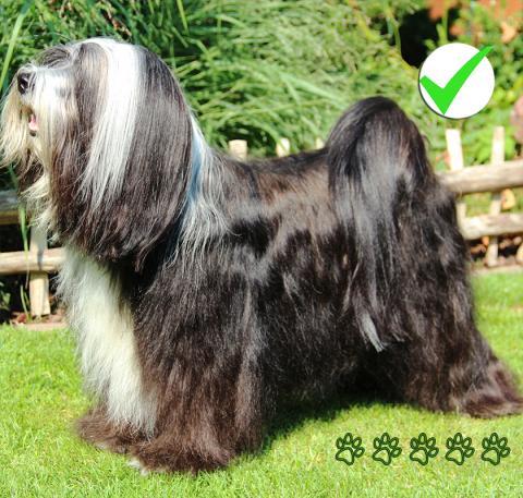 Tibet Terrier Deckrüde Bandhu_weiß-schwarz