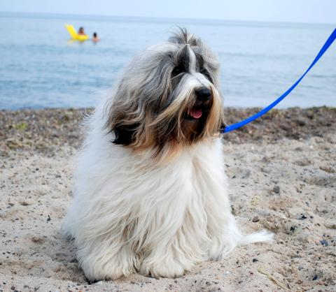 Tibet Terrier Henry privat am Strand