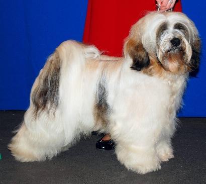 Tibet Terrier Henry mit 1,5 Jahren