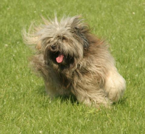 Tibet Terrier Rüde Danu-kari Chin Than-ju