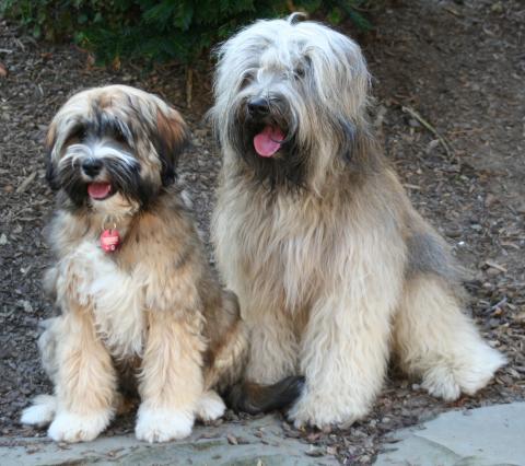 Tibet Terrier Than-ju & seine Tochter Frieda