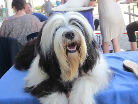 "Tibet Terrier Rüde ""Elrond von Sang Yum"""