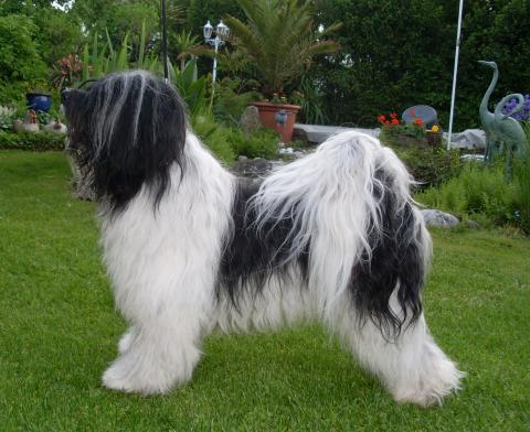 Tibet Terrier Rüde Chihosang Shamba