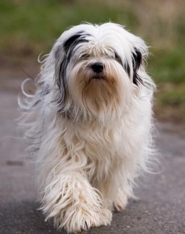 Tibet Terrier Hündin Bijou