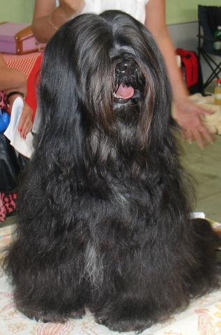 Mo Shu E-ma Lu Tibet Terrier Hündin