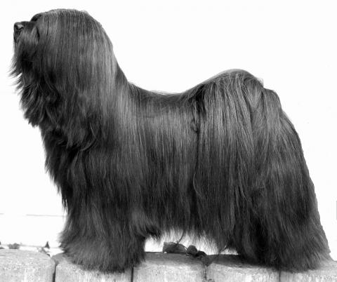 "Tibet Terrier Rüde ""Ti La Shu Born to be Magic for Shambavara"""