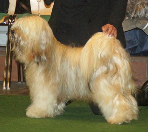Tibet Terrier Bingu - 3 Jahre alt