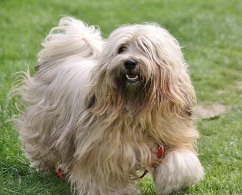 """Tibet Terrier Bingu - """"smiling tibi"""""""