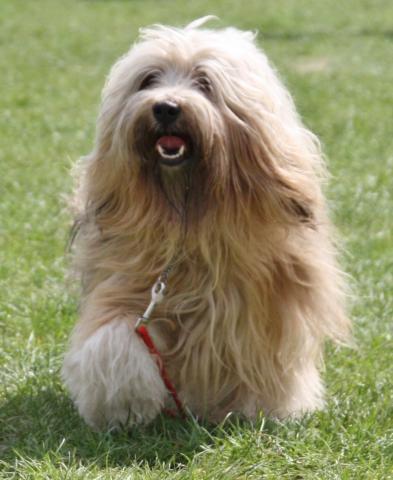 Tibet Terrier Bingu - immer gut gelaunt (4 J. alt)