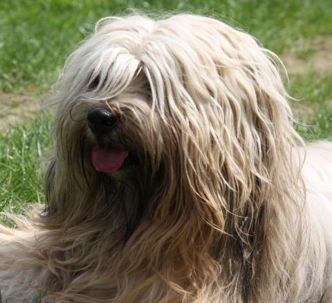 Tibet Terrier Bingu - Porträt