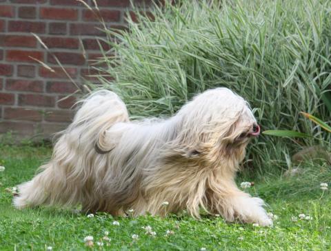 Tibet Terrier Bingu - Laufstudie im Garten