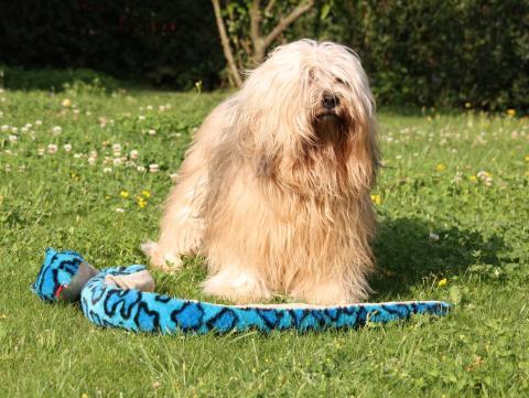Tibet Terrier Bingu mit seinem Lieblingsspielzeug
