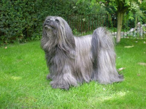 Tibet Terrier Hündin Tri-Va-Ten Anagarika Taro im Garten