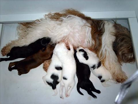 Tibet Terrier Hündin Smyonpa khangpa Adjungdjogo yagpo als treusorgende Mutter
