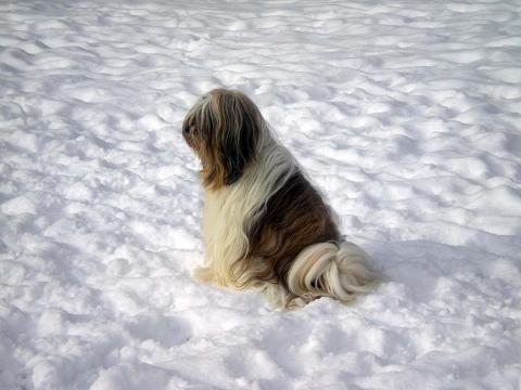 Tibet Terrier Hündin Smyonpa khangpa Adjungdjogo yagpo in ihrem Lieblingselement: Schnee!!